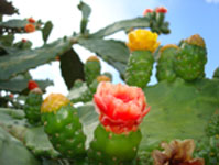 Photo of nopal cactus, Pocas Cosas Logo